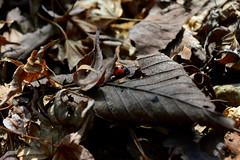 天道虫 (osa-rarara) Tags: テントウムシ coccinellidae
