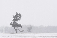silent witness to a long, cold winter (marianna armata) Tags: tree tremendous tuesday pine cold long winter snow landscape ontario canada mariannaarmata