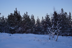 Feeling Lonely (steve_whitmarsh) Tags: aberdeenshire scotland scottishhighlands highlands craigendarroch winter snow mountain hills trees forest cairngorms topic