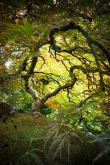 twisty maple (sebboh) Tags: carlzeisscontaxg21mmf28biogon sonya7kolariut zeissrokkorfrankenlens autumn portlandjapanesegarden pdx oregon tree fall landscape