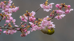 Japanese White-eye (Ayubi3104) Tags: メジロ 雨 rain 桜 春 japanesewhiteeye 寒桜 nikon d500 nikkor200500mm flower