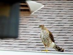 Sharp shinned Hawk (timber1212) Tags: sharpshinnedhawk backyard sacramento california