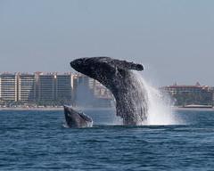 P1026720 (nancy1607ca) Tags: mexico humpbackwhale puertovallarta breach ocean whalecalf