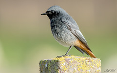 Black Redstart.. (Jeff Lack Wildlife&Nature) Tags: blackredstart redstart redstarts birds avian animal animals wildlife wildbirds wetlands wildlifephotography jefflackphotography wintermigrant songbirds countryside coastalbirds coastline coast moorland moors nature