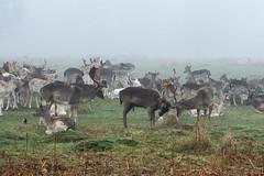 Deer (Conan500) Tags: bushy park london wildlife animals creatures nature fog foggy morning