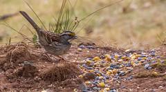 _DSC0489 (johnjmurphyiii) Tags: 06416 birds connecticut cromwell originalnef shelly tamron18400 usa wildlife winter yard johnjmurphyiii