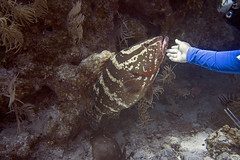 Feels so good! (Jeff Mitton) Tags: cleaningposture nassaugrouper epinephelusstriatus belize lighthousereef fish reef caribbean caribbeansea scuba underwater coral earthnaturelife wondersofnature