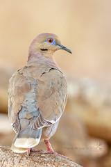 White-winged Dove (Mario Arana G) Tags: 7d ave bird birding cr canon costarica florayfauna guanacaste marioarana nature naturephotography photography playasdelcoco whitewingeddove wildlife wildlifecostarica