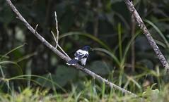 Cuenca del río Guatiquia (jhonfredyravesalazar) Tags: birds pajariar avistamiento colombia meta villavicencio nikon sigma