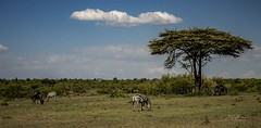 Tranquility... (momathew) Tags: masaimara feeding grazing herbivores plains grassland safari kenya olkinyei africa wildlifeafrica