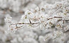 Let the bloom be - 6 (Bernard Languillier) Tags: japan tokyo sakura nikonz7 nikon500mmf56pf 桜 megurokawa 目黒川