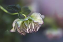 not always as it seems (rockinmonique) Tags: tamron45mm muttartconservatory flower bloom blossom petal pretty delicate green pink moniquewphotography canon canont6s tamron copyright2019moniquewphotography