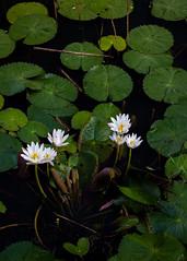 Morning Beauties (Chamikajperera) Tags: sri lanka ceylon lake lotus morning flower landscape fineart