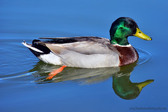 Mallard_03 (DonBantumPhotography.com) Tags: wildlife nature birds animals waterfowl duck mallard water donbantumcom donbantumphotographycom