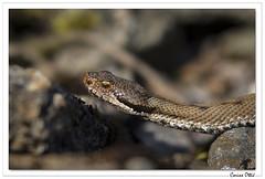Reptiles en Alsace : la vipère que voici ! (C. OTTIE et J-Y KERMORVANT) Tags: nature animaux reptiles vipères vipèreaspic alsace france