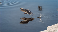 2019-04-04 - St Petersburg, Russia-DSC_5547-Edit (Mandir Prem) Tags: nature outdoor places russia stpetersburg water wild wildlife animals beauty birds circle circus city drops ice landscape park reflection seagull tourism trip waterdrop