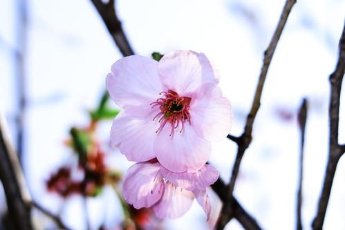 Cerasus cv 'Yoko'