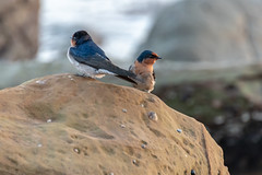Welcome Swallows at the Seaside (Merrillie) Tags: rock nature avocabeach birds newsouthwales welcomeswallows nsw wild wildlife seaside swallows outdoors animals fauna beach australia twoofakind