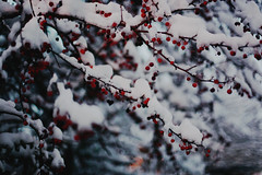 home. (Damla Özcan) Tags: winter white holly red berry nature snow tree cold bokeh gloomy canon eos 5d mark ii 50mm f14 photography
