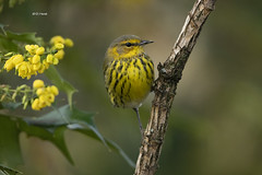 Cape May Warbler (featherweight2009) Tags: capemaywarbler setophagatigrina warblers songbirds birds rarities