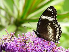 Tximeleta eder bat (josuneetxebarriaesparta) Tags: tximeleta mariposa papillon butterfly animalia animal