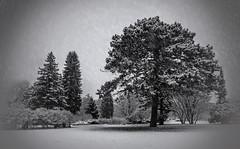 NO167426.2.winter (Brian Kermath (e.h.designs)) Tags: universityofwisconsinoshkosh uwoshkosh oshkoshwisconsin oshkosh wisconsin trees snow winter snowing snowfalling snowfall blackandwhite spruce whitepine pines