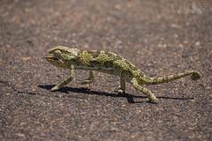 Flap-necked Chameleon (Ben Locke.) Tags: chameleon flapneckedchameleon lizard reptile wild wildlife nature africa southafrica