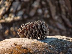 Pine Cone Rocking Out (clarkcg photography) Tags: rock pinecone tree treebark textures 7dosrockscissorspapertexturetuesday
