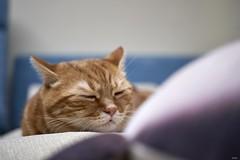 A9__DSC3123_C1 (Bazoka+Cynthia) Tags: cat alpha 小婆 新北市 樹林區 貓