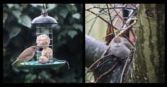 Mrs. Blackcap (MedievalRocker) Tags: bird blackcap female chestnut