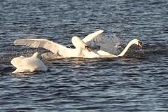 IMG_2437 (LezFoto) Tags: swan mute cygnusolor loirstonloch aberdeen scotland unitedkingdom canoneos700d sigma 700d canon 120400mmf4556dgapooshsm digitalslr dslr canonphotography sigmalens fight splash splashing action