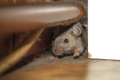 525023427 (Pest Control_au) Tags: pest vertebrate copyspace oneanimal sayings mousehole cute fortunetelling animalear paw poverty watching walking curiosity insideof indoors closeup humanface animaleye mouse rat rodent mammal animal flooring domesticroom house homeinterior