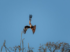 Launching a kite (Through_Urizen) Tags: animalsbirdsinsects birds category england hertfordshire hexton places canon canon70d tamron70200g2 outdoor nature tree branch twig bird flight flying redkite kite bluesky animal sky forest