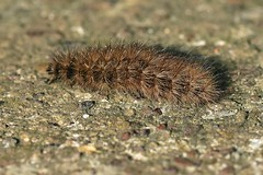 Buff Ermine ... Spilosoma lutea (AndyorDij) Tags: caterpillars buffermine spilosomalutea lepidoptera moth andrewdejardin england empingham rutland uk unitedkingdom nationalmothweek empinghammoths