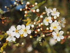 Blackthorn Blossom (Megashorts) Tags: olympus omd em10 mkii mk2 mzd 60mm f28 macro nature 2019 blossom spring flowers flower bloom bush white blackthorn blackthornblossom springissprung