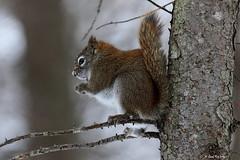 Ecureuil roux nord-américain / Tamiasciurus hudsonicus / North American Red Squirrel (Laval Roy off until 03/27/2019) Tags: quebec mammals mammifères rongeurs sciuridés northamericanredsquirrel écureuilrouxnordaméricain tamiasciurushudsonicus écureuilroux redsquirrel basedepleinairdesaintefoy villedequébec lavalroy hiver saisonhivernale comportement senourrissant