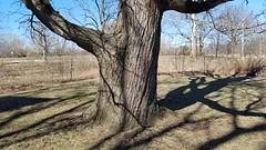Northern Catalpa (dankeck) Tags: catalpaspeciosa bignoniaceae cigartree branches tree shadow angular winter ohiostate theohiostateuniversity arboretum chadwickarboretum columbus ohio centralohio franklincounty