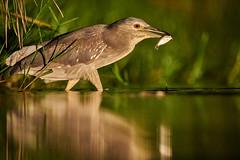 ZIM_4791 (lucvanderbiest) Tags: blackcrownednightheron kwak lagoonhide zimangaprivatereserve southafrica