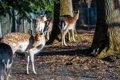 Deer family (lparolini) Tags: brightlight deer deers nature outdoor trees wildeanimals