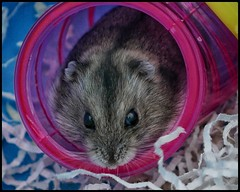 Hairball (NickD71) Tags: panasonic lumix dmc lx100 snapseed siberian hamster rodent nocturnal curious tube hiding