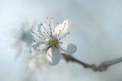 echo (christophe.laigle) Tags: christophelaigle fleur macro nature flower fuji xpro2 xf60mm prunus