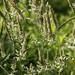 ?Holcus lanatus (common velvet grass)