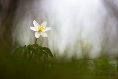 Anémone Sylvie-Anemone nemorosa (PatNik01) Tags: france anemonedesbois anemonenemorosa anemonesylvie blanc fleur nikon sousbois nature macro proxy wild wildlife bokeh plant