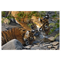 Bengal Tiger Tigress with Cub, Noor, Ranthambhore National Park, Rajasthan, India (Monica Max West) Tags: india indianwildlife wildlife nature wildlifephotography wild tiger bengaltiger monkey primate bigcat endangered