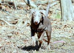 FLAPS UP! (Judecat (ready for springtime)) Tags: dog canine labradorretriever silverlabradorretriever dogrunning ears pearl puppy
