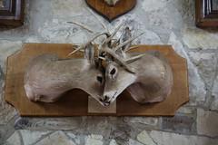 AU3A8542 (MegachromeImages) Tags: banderatx frontiertimesmuseum display buck deer mount lockingantlers