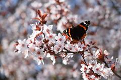 C'est le printemps (Croc'odile67) Tags: nikon d3300 sigma contemporary fleurs flowers nature papillons printemps spring fruhling floraison