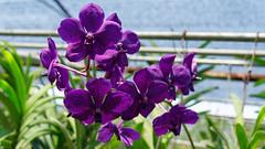 2019-02-11_13-00-45_ILCE-6500_DSC02906_DxO (miguel.discart) Tags: 2019 45mm chiangmai createdbydxo dxo e18135mmf3556oss editedphoto fleurs flowers focallength45mm focallengthin35mmformat45mm holiday ilce6500 iso100 sony sonyilce6500 sonyilce6500e18135mmf3556oss thailand thailande travel vacances voyage