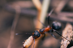 Formica rufa, red wood ant (birdliv3s) Tags: ants formicarufa hunting