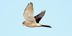 Kestrel (Mick Lowe) Tags: kestrel falco tinnunculus falcon flight male nature wild wildlife